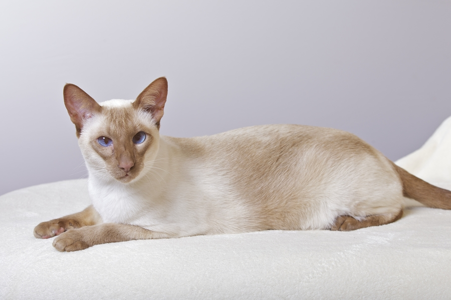 Siamese cinnamon-point, SIAo