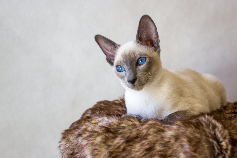 Siamese blue-point, SIAa)